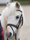 Horse headshot in bridle a head shot of a grey pony a Royalty Free Stock Image