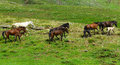 Horse herd in mountain areas ngalloping horses nwild horses Royalty Free Stock Image