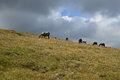 Horse herd on pasture high on a mountain plateau Royalty Free Stock Photo