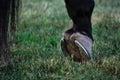 Horse hoof hind leg close up of on grass showing horseshoe Stock Photography