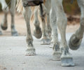 Horse hooves close up in group walking in the park Stock Image