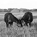 Horse horses graze on a grass Royalty Free Stock Photos