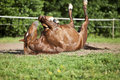 Horse lay on back and having fun to roll in sand Royalty Free Stock Photo