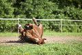 Horse lay and have fun to roll in sand Royalty Free Stock Photo
