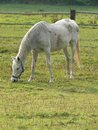 Horse a light grey grazing on meadow Royalty Free Stock Images