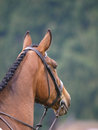 Horse looking away a head shot of a bay in a bridle into the distance Stock Images