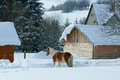Horse looking on stable in winter with a lot of snow Stock Photos