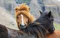 Horse love on the medow iceland Stock Photos