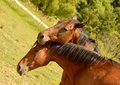 Horse love two brown horses hugging each other on a meadow Stock Image