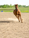 Horse on lunge line sorrel thoroughbred getting exercise in sand arena outdoors Stock Photography