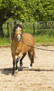 Horse lunging on paddock dun coloured half arabian half berber with golden highlights and white markings exercising a lunge a sand Stock Photos