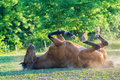 Horse lying on the grass Royalty Free Stock Photo