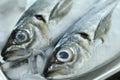 Horse mackerel Royalty Free Stock Photo
