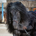 Horse mane of a black coldblood Royalty Free Stock Photos