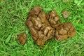 Horse manure fresh on grass Royalty Free Stock Photo