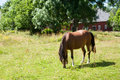 Horse on a meadow in sweden with typical swedish barn the background Royalty Free Stock Photo