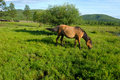 Horse in Mongolia Royalty Free Stock Photo
