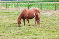 Horse this mother with young standing in pasture by curiosity alone the young looking at me Royalty Free Stock Photos
