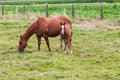 Horse this mother with young standing in pasture by curiosity alone the young looking at me Stock Photo