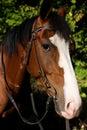 Horse muzzle with crub Stock Photography