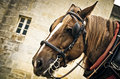 Horse muzzle in the harness Royalty Free Stock Photography