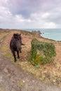 Horse near logans rock cornwall uk porthcurno and treen wild pony grazing Royalty Free Stock Image