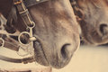 Horse nose or muzzle with bit and bridle Stock Photography