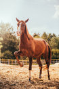 Horse in the paddock, Outdoors, rider Royalty Free Stock Photo