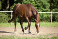 Horse on paddock paw the ground Royalty Free Stock Photo