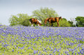 Horse on Pasture - Blue Bonnets Royalty Free Stock Photo