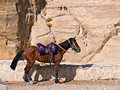 Horse, Petra - Jordan. Royalty Free Stock Photo