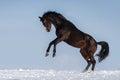 Horse play Royalty Free Stock Photo