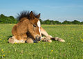 Horse pony foal cute brown laying on grass in the new forest england Stock Images
