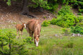 Horse and pony grazes on meadow Stock Image