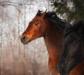 Horse portrait beautiful running at sunset in winter Stock Images