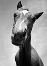 Horse portrait in black and white Stock Image