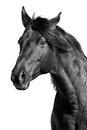 Horse portrait black and white Royalty Free Stock Photo