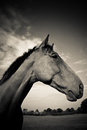 A horse profile in black and white beautiful portrait of head neck Royalty Free Stock Image