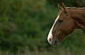 Horse profile a brown s head in Royalty Free Stock Photography