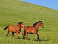 Horse race Royalty Free Stock Photo