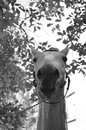 Horse the reaches an average age of years among some breeds pony meet animals surviving to years the brain is relatively small and Royalty Free Stock Photography