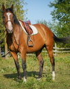 Horse ready for riding a all saddled up in equestrian gear Stock Photo