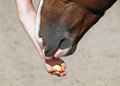 The horse receives a delicacy chestnut from hands of person Royalty Free Stock Photo