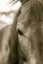 Horse Right Eye in Sepia Royalty Free Stock Photo