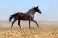 Horse run in dust Royalty Free Stock Photo