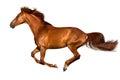 Horse run isolated Royalty Free Stock Photo