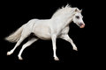 Horse run isolated white welsh pony gallop on black background Royalty Free Stock Photography