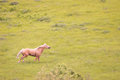 Horse on the run a palomino galloping in a grassy field in kansas Stock Photo