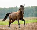 Horse runs gallop on freedom Royalty Free Stock Images