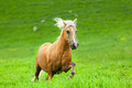 Horse runs on a green summer meadow Royalty Free Stock Image